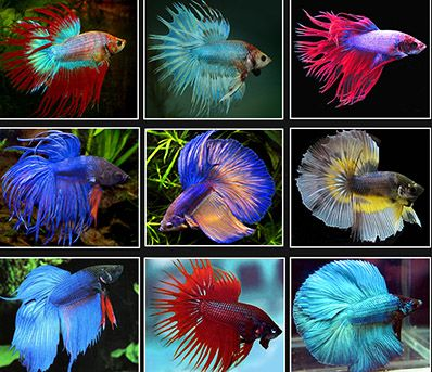 The siamese fighting fish for Cool betta fish names